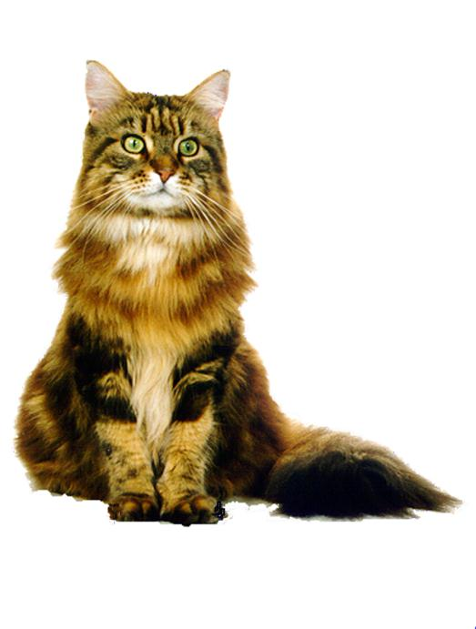 Maine coon price london