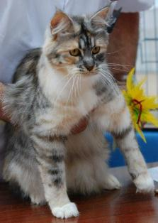 6a15107dec Classic Silver Tortie-Tabby   White