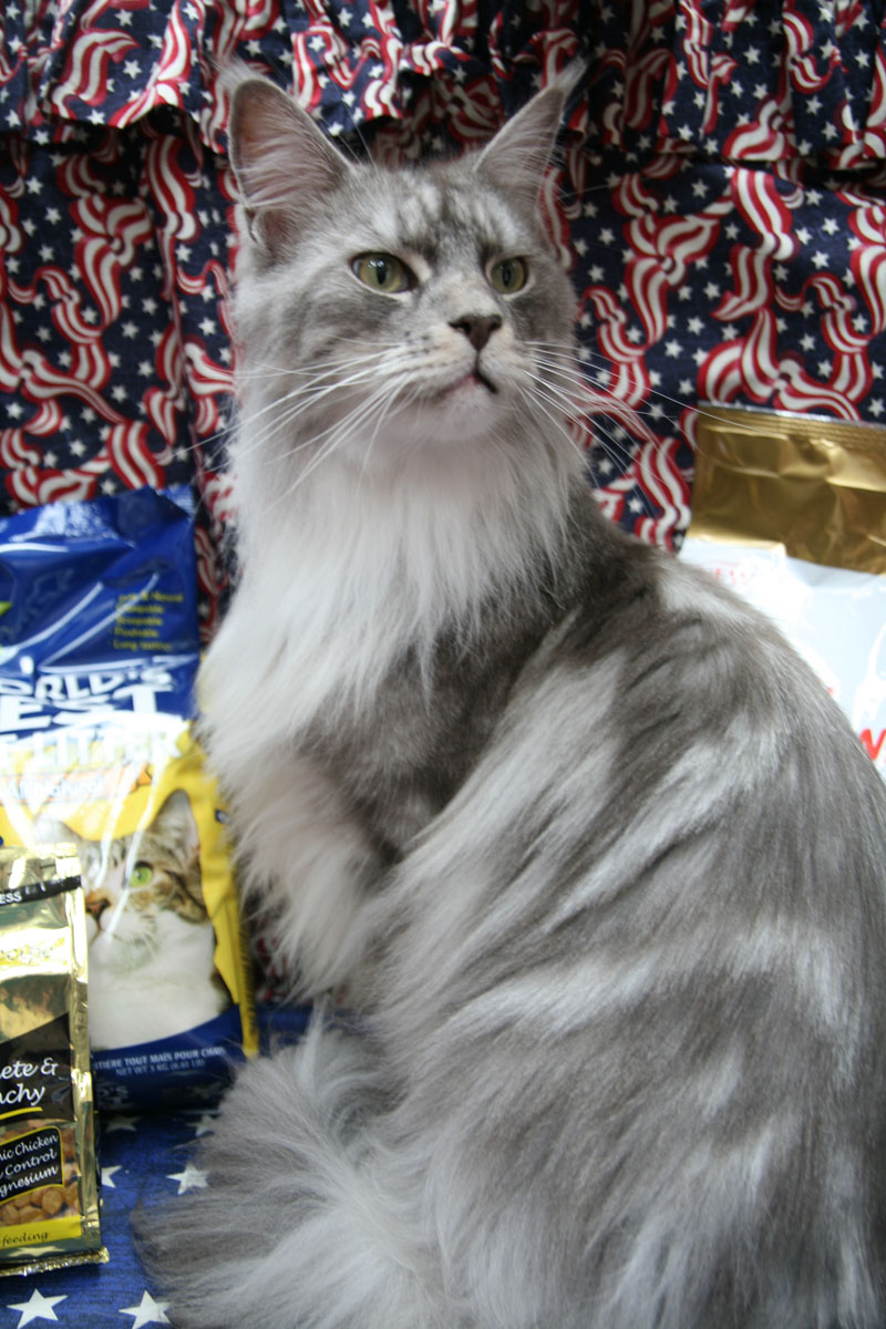 2a59743330 Classic Blue Silver Tabby   White
